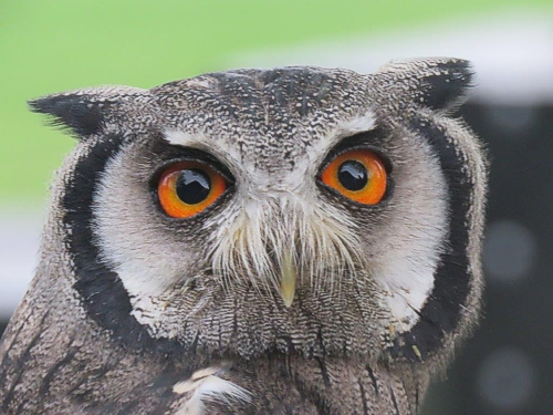 Southern White-faced Scops Owl. Photograph by Priscilla Beeton