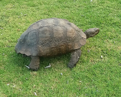 The Tortoise surprised us. Kirstenbosch Photograph by Cheryl Faull