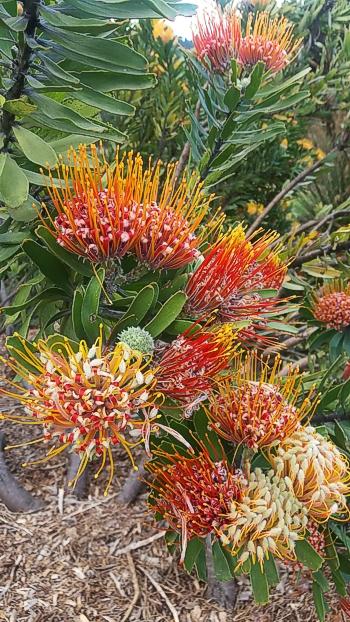 The beautiful flowering shrubs to be seen. Kirstenbosch Photograph by Cheryl Faull