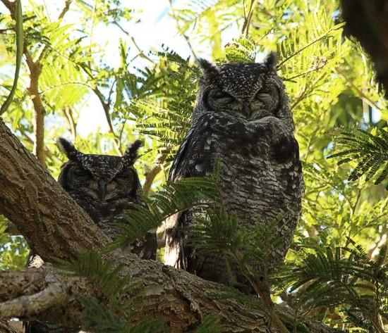 The owls were back! Kirstenbosch photograph by Marlene Hofmeyer.