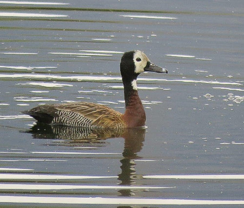 White Faced Duck. Photograph by Priscilla Beeton