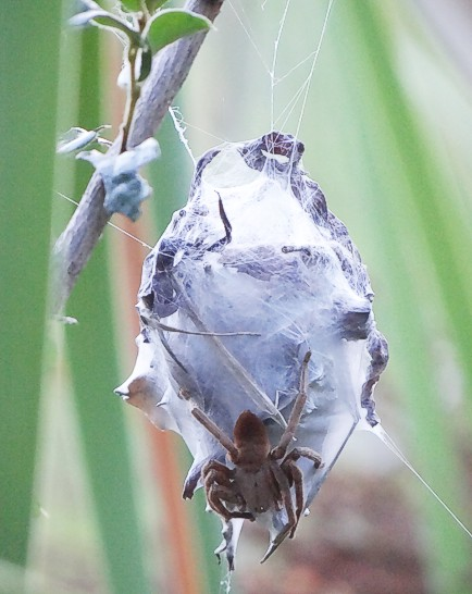 The Rain Spider and her nest. Kirstenbosch. Photograph by Otto Schmidt