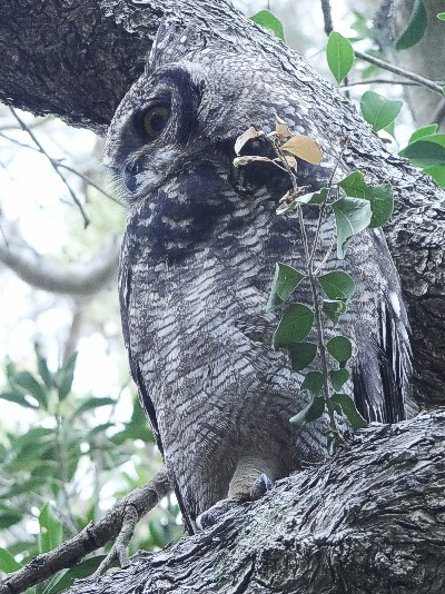The adult Spotted Eagle Owl. Kirstenbosch. Photograph by Otto Schmidt