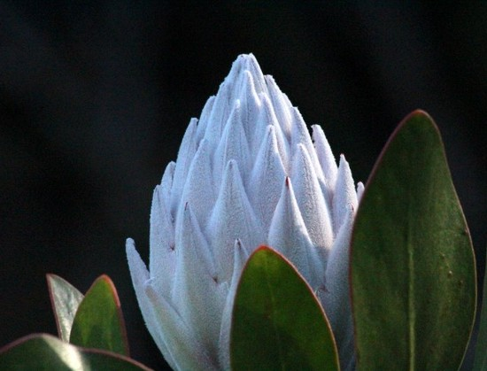 A beautiful protea bud , Kirstenbosch. Photograph by Marlene Hofmeyr.