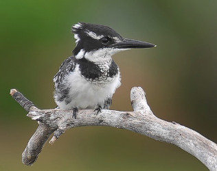 cbc-bird pied kingfisher gavin lawson aug 2012