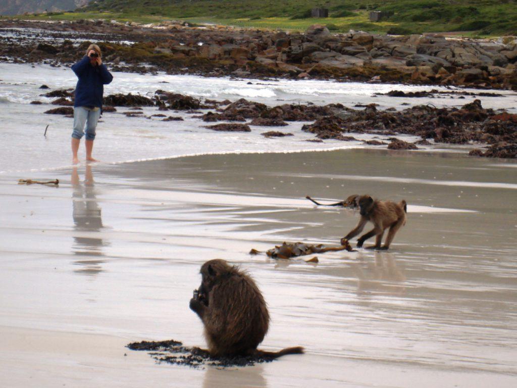 Baboons Cape Point - Mel Tripp
