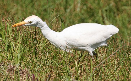 cbc-bird cattle egret 02 OS may 2010