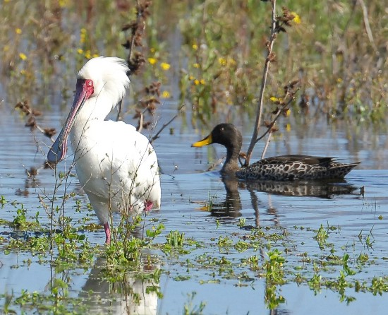 cbc-bird spoonbill and yellow billed duck aug 2013