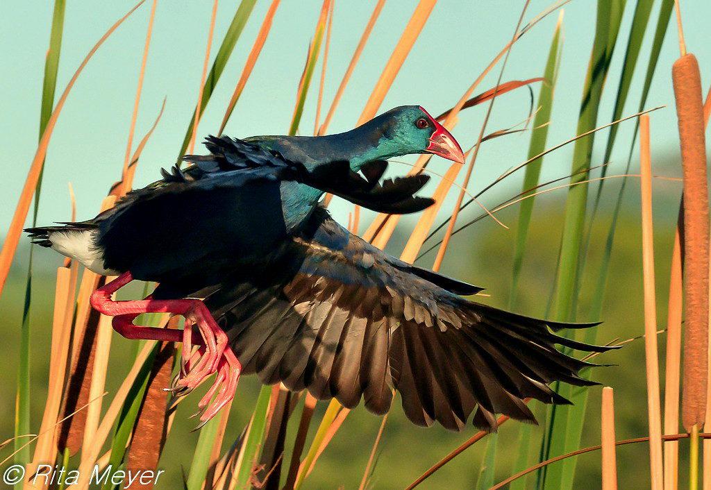 Gallinule in flight - Rita Meyer