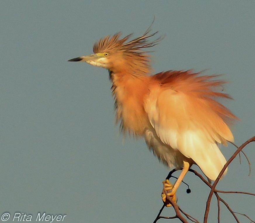 Squacco Heron - Rita Meyer