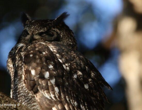 Spotted Eagle Owl Kistenbosch 5 July 2017