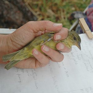 cbc-bird ringing die ogg 13 june 2012