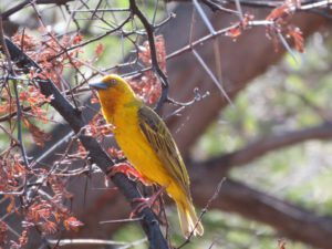 Cape Weaver at Rhodene Farm Ceres. Photograph by Priscilla Beeton