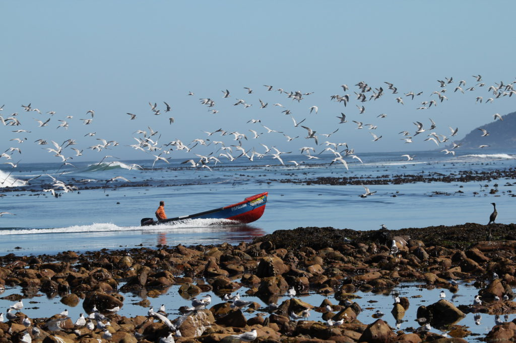 Kommetjie. Flocks take off as boat comes in to launching site - Otto Schmidt