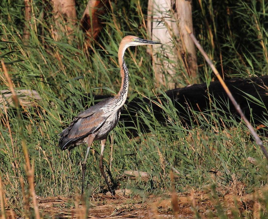 Goliath Heron, Berg River - Otto Schmidt