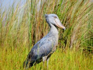 Shoebill - Balaeniceps rex. Photograph by Gillian Barnes