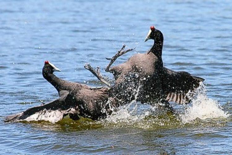 cbc-bird-coots-GM-july-2008[1]