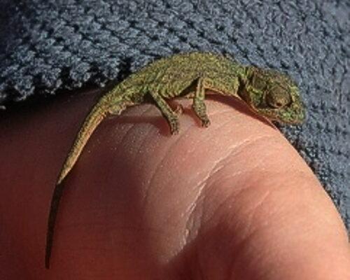zvt-chameleons 2 july 2008