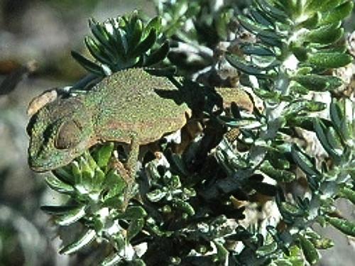 zvt-chameleons 4 july 2008