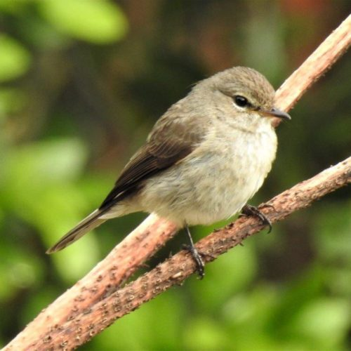 African Dusky Flycatcher. Photograph by Daryl de Beer