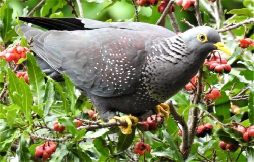 African Olive Pigeon. Photograph by Daryl de Beer