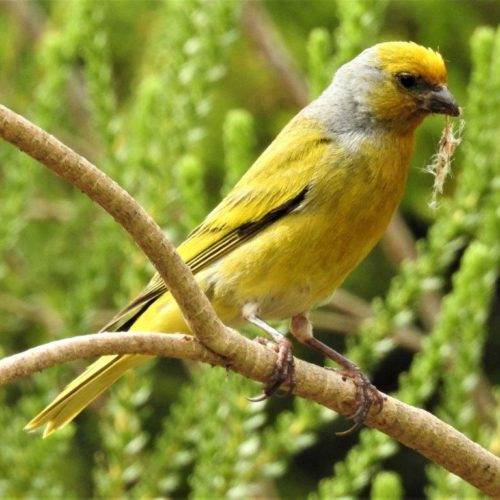 Cape Canary. Photograph by Daryl de Beer