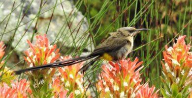 Cape Sugarbird. Photograph by Daryl de Beer