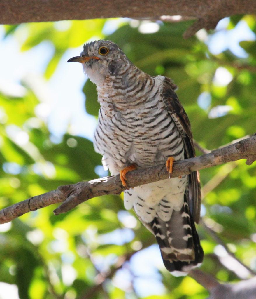 Common Cuckoo (juv.) Otto Schmidt