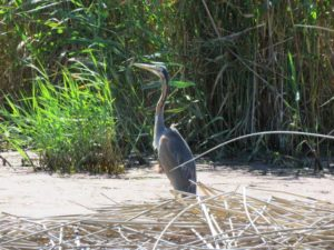 Purple Heron. Photograph by Priscilla Beeton