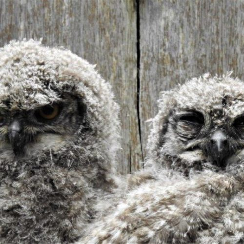 Spotted Eagle-Owl chicks. Photograph by Daryl de Beer