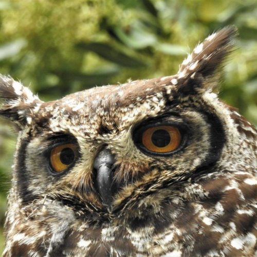 Spotted Eagle-Owl Parent. Photograph by Daryl de Beer