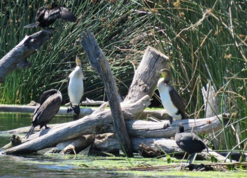 White Breasted Cormorants. Photograph by Priscilla Beeton