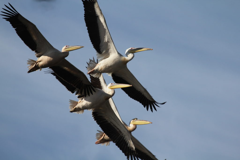 Great White Pelicans over Rietvlei