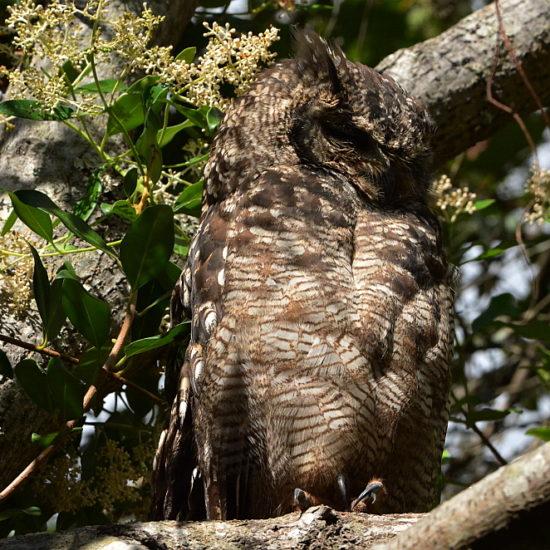 Spotted Eagle-owl/Gevlekte Ooruil