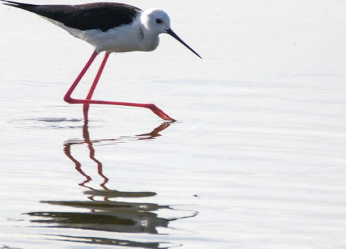 Black-winged Stilt, Zandvlei. Photograph by Geoff Abbott