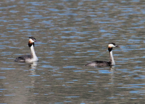 Great Crested Grebes at Zandvlei. Photograph by Otto Schmidt