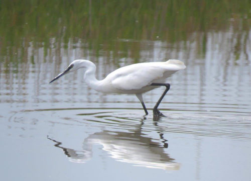 Little Egret at Zandvlei. Photograph by Priscilla Beeton