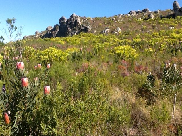 Montane Fynbos Sir Lowrys Pass - Mel Tripp