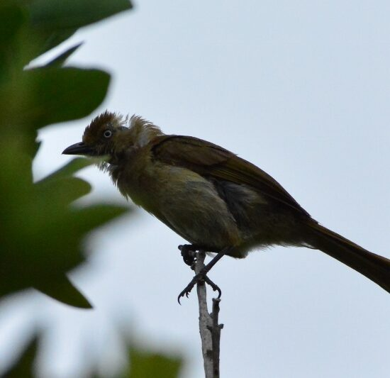 Sombre Greenbul. Photograph by Myburgh Brink.
