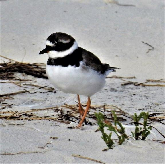 Common Ringed Plover _Photograph by Daryl de Beer
