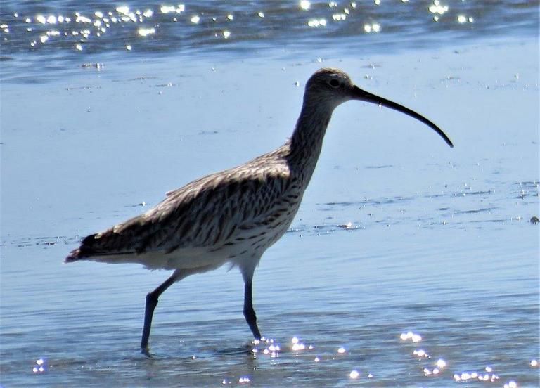 Eurasian Curlew _Photograph by Daryl de Beer