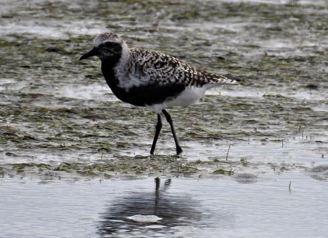 Grey Plover _Photograph by Daryl de Beer