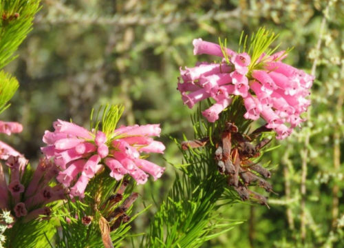 Paarl Wild Flower Garden. An Erica. Photograph by Priscilla Beeton