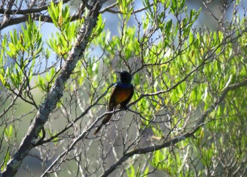 Paarl Wild Flower Garden. Orange-breasted Sunbird. Photograph by Priscilla Beeton