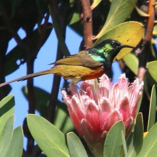 Orange Breasted Sunbird. Photograph by Graham Pringle