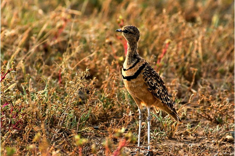 double banded courser KDH may 2018