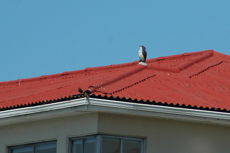 zandvlei lower 05 an owl to scare the birds from this roof 21 april 2018
