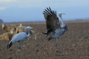 Blue Cranes displaying Photograph H & A Hodgson