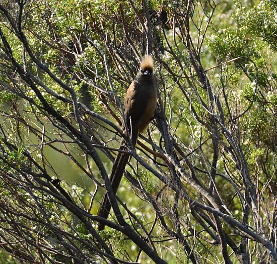 Speckled Mousebird/Gevlekte Muisvoël