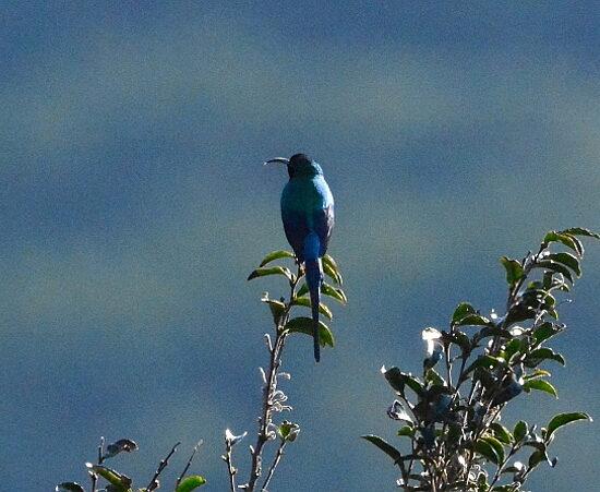 Malachite Sunbird/Jangroentjie ♂
